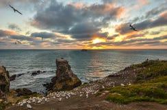 Venez à la maison Coucher du soleil au-dessus de colonie de fou de Bassan à la plage de Muriwai, Nouvelle-Zélande Image stock