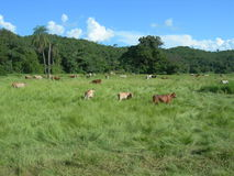 Venezuela, livestock. Breeding livestock in Venezuela, South America Royalty Free Stock Images