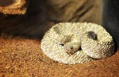 Venezuela rattle snake ( crotalus vegrandis ). Isolated royalty free stock images