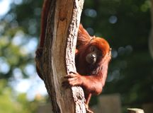 Venezuelan red howler, Alouatta seniculus. Close up of Venezuelan red howler in tree royalty free stock image