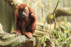 Venezuelan red howler Stock Photography