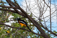 Venezuelan Troupial. A tropical bird in the Dutch Caribbean Stock Images