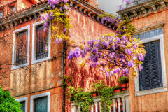 Venice  blooming acacia. View for  Venice blooming acacia Royalty Free Stock Image