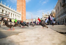 Venice pigeons Royalty Free Stock Images