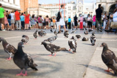 Venice pigeons Stock Photo