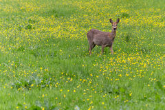 Venison walking around in the grass and eatin Royalty Free Stock Images