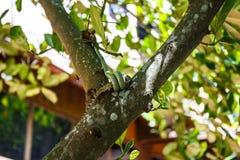 Venom green snake is eating lizards Stock Image
