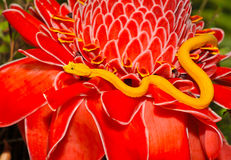 Venomous желтый змеенжш ямы ресницы, ri Косты Стоковое Фото