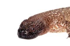 Venomous Beaded lizard isolated on white Stock Images