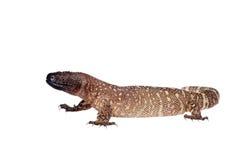 Venomous Beaded lizard isolated on white Royalty Free Stock Image