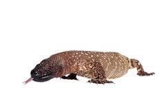 Venomous Beaded lizard isolated on white Stock Photo