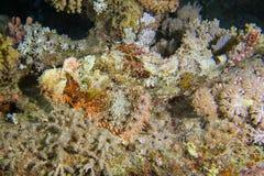 Venomous camouflaged scorpion fish Stock Photos