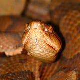 Copperhead wąż (Agkistrodon contortrix) Obrazy Stock