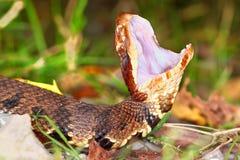 Venomous Cottonmouth wąż Obrazy Royalty Free