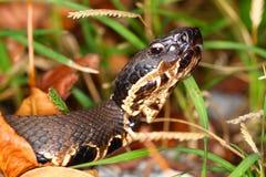 Venomous Cottonmouth wąż Zdjęcie Stock