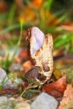 Venomous Cottonmouth węża Illinois przyroda Zdjęcie Stock