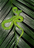 Venomous grön treegrophuggorm, costa Arkivbilder