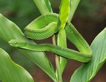 Venomous green tree pit viper , costa rica Stock Image
