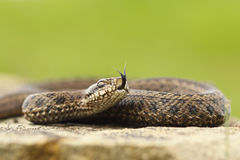 Venomous juvenile Vipera ursinii rakosiensis preparing to strike. The elusive hungarian meadow adder, the most endangered snake from Europe Stock Photo