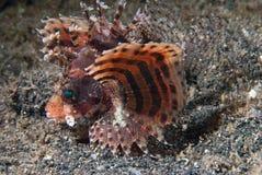 venomous lionfish arkivbild