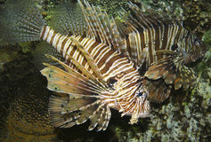 A Venomous Lionfish, Pterois, With Its Spiky Fins royalty free stock photography