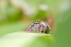 Venomous pająk Fotografia Royalty Free