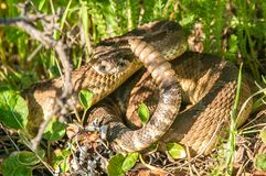 Warning signs of a Rattlesnake. The venomous serpent coils in protection to defend from possible attacks stock photography