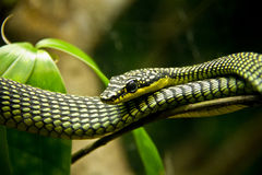 Venomous snake Royalty Free Stock Photography