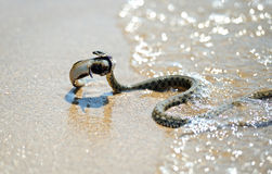Venomous snake Stock Image
