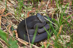 Venomous snake black forest viper . Royalty Free Stock Image