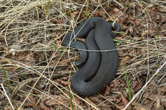 Venomous snake black forest viper . Stock Photography
