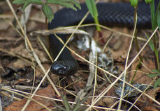 Venomous snake black forest viper . Stock Photos