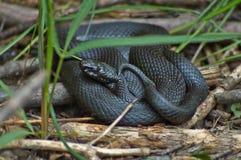 Venomous snake black forest viper. Royalty Free Stock Photography