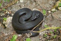 Venomous snake black forest viper. Royalty Free Stock Images