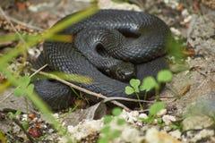Venomous snake black forest viper. Stock Photography