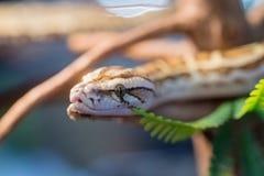 A venomous snake on a branch. Stock Photography