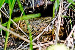 Venomous snake of dry grass and leaves. Orsini's viper venomous snake of dry grass and leaves Royalty Free Stock Photos
