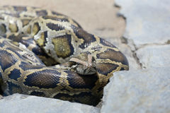 Venomous snake sleeps Royalty Free Stock Images
