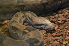 Venomous snake Royalty Free Stock Photo