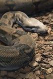 Venomous snake Stock Photography