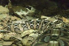 Venomous snake Royalty Free Stock Image