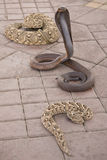 Venomous snakes on pavement. Hooded venomous cobra with two coiled snakes on pavement outdoors stock images