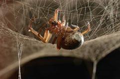 Venomous spider Stock Photography