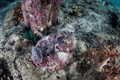 Venomous Stonefish Royalty Free Stock Photography