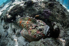 Venomous Stonefish Stock Photography