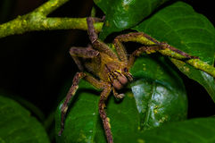 Venomous wandering spider Phoneutria fera sitting on a heliconia leaf in the amazon rainforest in the Cuyabeno National Royalty Free Stock Images