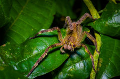 Venomous wandering spider Phoneutria fera sitting on a heliconia leaf in the amazon rainforest in the Cuyabeno National. Park, Ecuador Royalty Free Stock Images