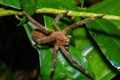 Venomous wandering spider Phoneutria fera sitting on a heliconia leaf in the amazon rainforest in the Cuyabeno National. Park, Ecuador royalty free stock photos