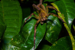 Venomous wandering spider Phoneutria fera sitting on a heliconia leaf in the amazon rainforest in the Cuyabeno National. Park, Ecuador Royalty Free Stock Photo