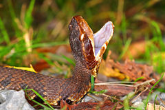 Venomous Water Moccasin Snake Royalty Free Stock Photo